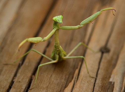 [تصویر: mantis.jpg]